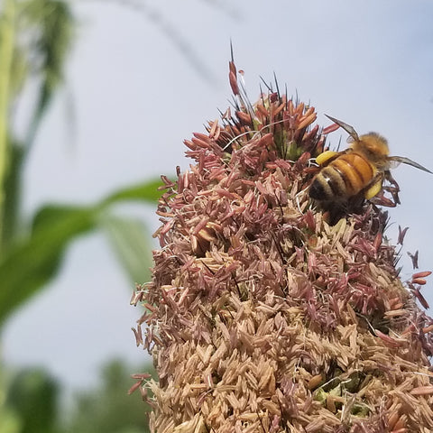 Honey Bee Crawling on West African Pearl Millet Flower