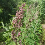 Quinoa flowers blossoms purple