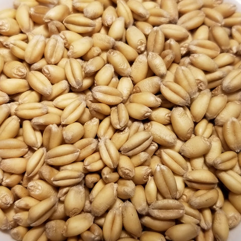 Homestead Winter White Wheat seeds