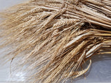 Fall Planted Sardinian Barley (bundle of grain)