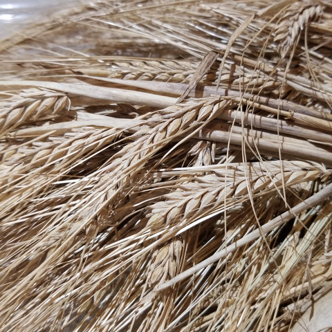 Fall Planted Sardinian Barley (close up of heads)