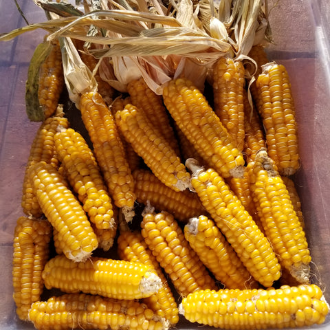 Gaspe' Flint Corn best ears of 2020
