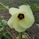 White Velvet Okra has a beautiful flower blossom