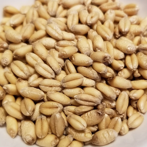 Plump soft white Saranac Wheat berries - an OSSI-Pledged variety
