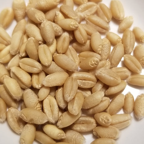 Augusta Wheat seeds