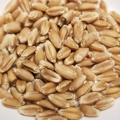 Butler Wheat seeds