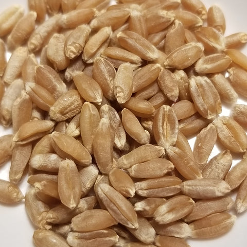 Ilred Wheat seeds