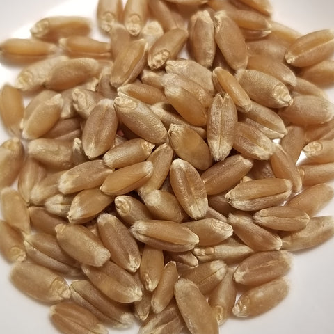 Minter Wheat seeds kernels
