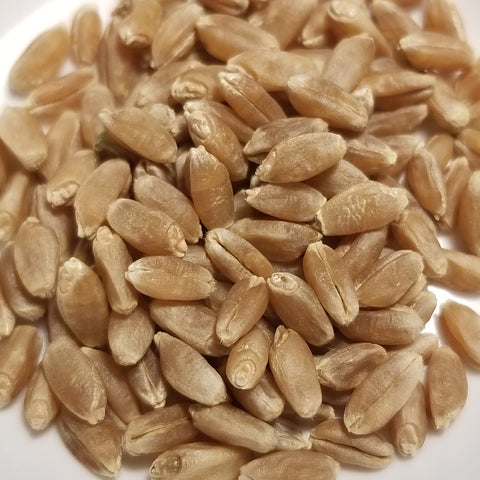 Satanta Wheat seeds