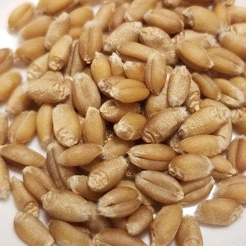 Scotty Wheat seeds