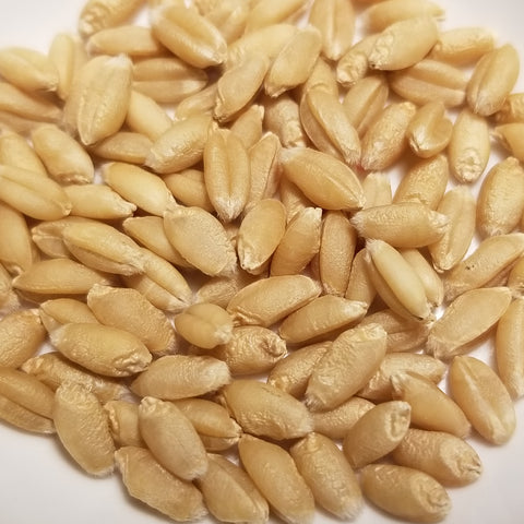Yorkwin Wheat seeds