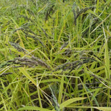 Nigrescens Upland Rice with seeds ready for harvest