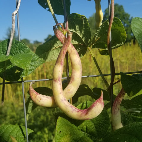Also known as Shrimp Beans, C shaped Pods of Anellino Giallo pole beans ripening in the sun on the trellis