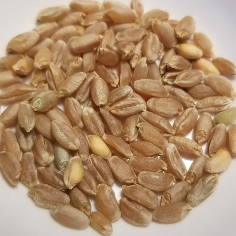 Mettes Rauhwizen Durum Wheat seeds