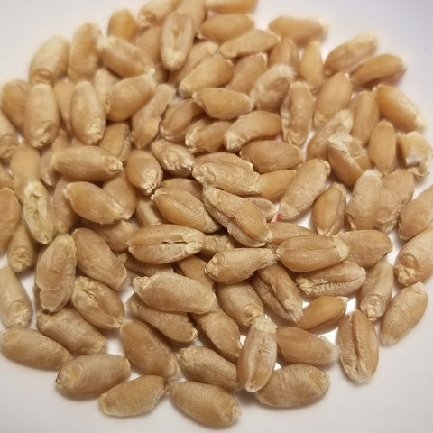 Velino Wheat seeds