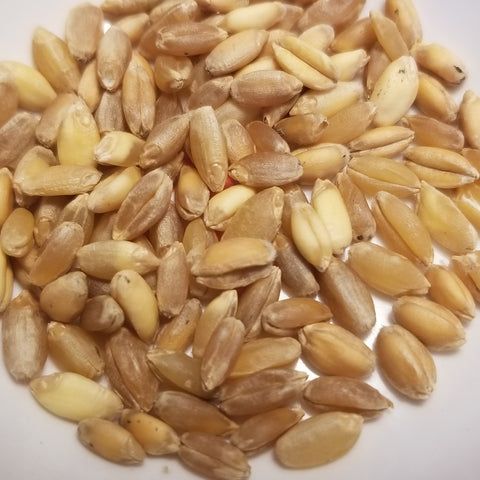 Volo Durum Wheat seeds