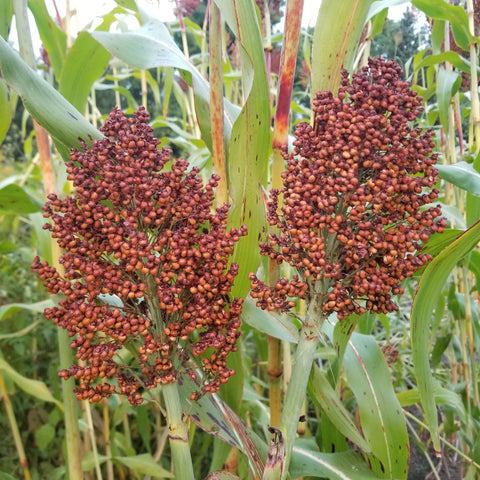 Ba Yi Qi Sorghum ready for harvest