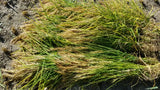 Duborskian Upland Rice cut, bundled and ready for hanging