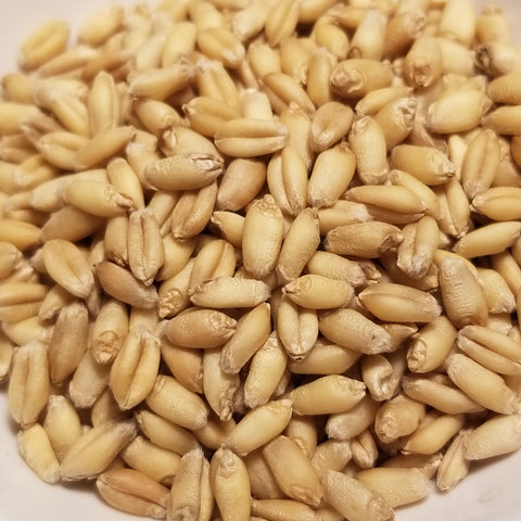 Frederick Wheat seeds