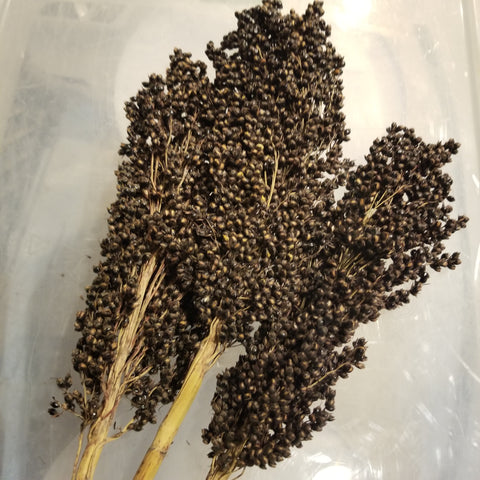 Idaho Amber Sorghum (head)
