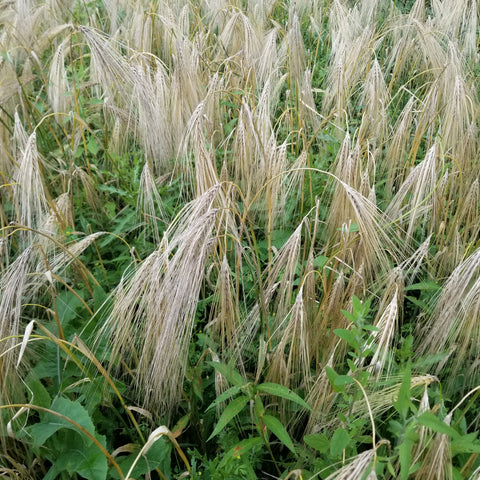 Bere Barley waiting to be harvested
