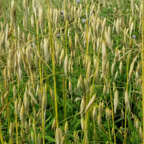Hulless Oats wait to be cut