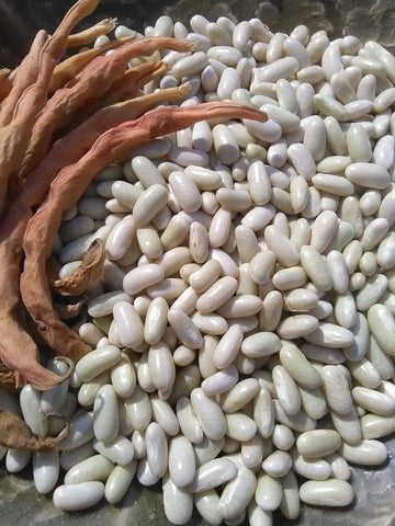 Hungarian Rice Bean; P. vulgaris; Bush; Snap; Dry; Dual-purpose