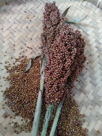 Rox Orange Syrup Cane Sorghum seeds