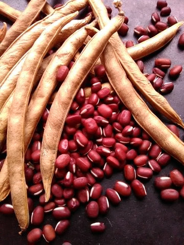Takara Early Adzuki (Vigna angularis) bean seeds with pods