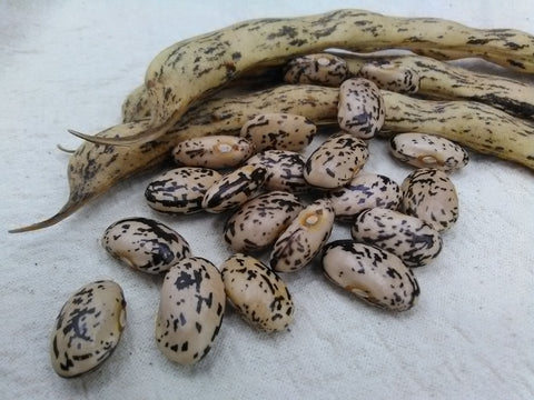 Mawivuna (Hopi Black Pinto) pole beans with pods