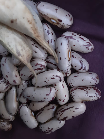 Gorgeous plump large Verna's Bush dry beans - rose pink with burgundy mottling