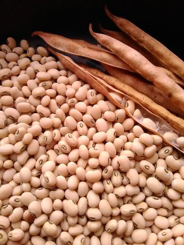 An abundance of tiny, plump Biwa Sitter Cowpea seeds (creamy white with black around the hilum) freshly shelled from their dry pods