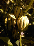A glimpse into the vines of Scarchuk's Supreme Acorn Squash - five squashes ripening