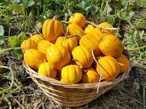 A basket overflowing with Gill's Golden Pippin mini-acorn winter squashes cured and ready for the pantry to provide yummy goodness on a blustery winter's day.