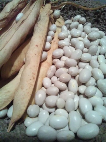 "Gorgeously plump white egg-shaped Ark of Taste dry White Marrowfat beans shelled next to their crisp, dry 5"" pods"
