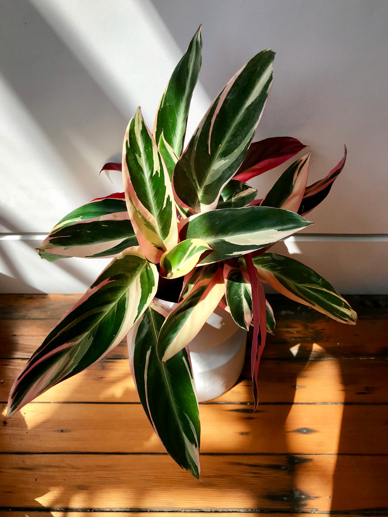 Stromanthe Triostar - Prayer Plant