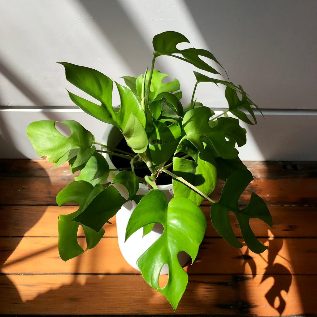 Rhaphidophora Tetrasperma - Mini Monstera
