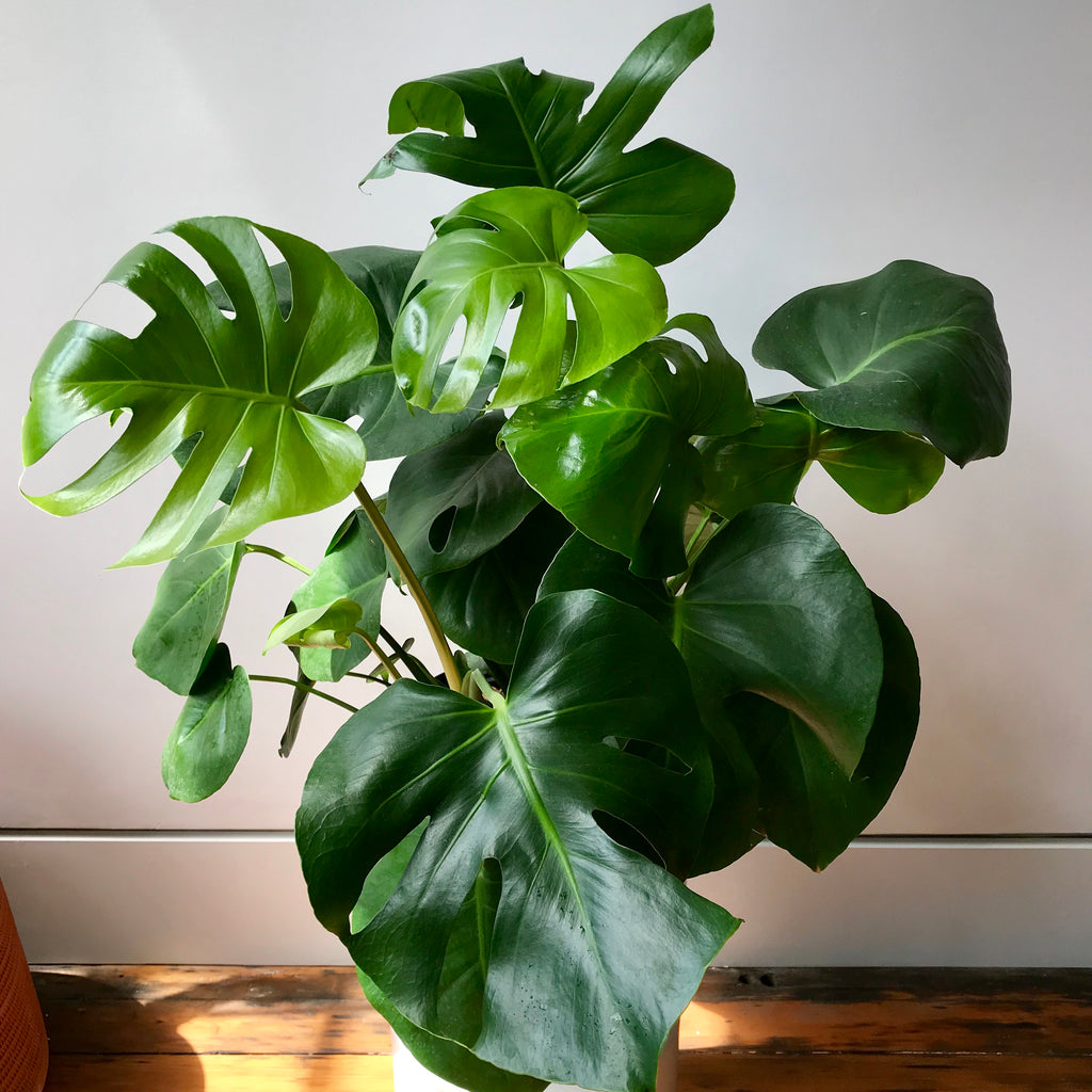 Monstera Deliciosa - Split Leaf Aroid