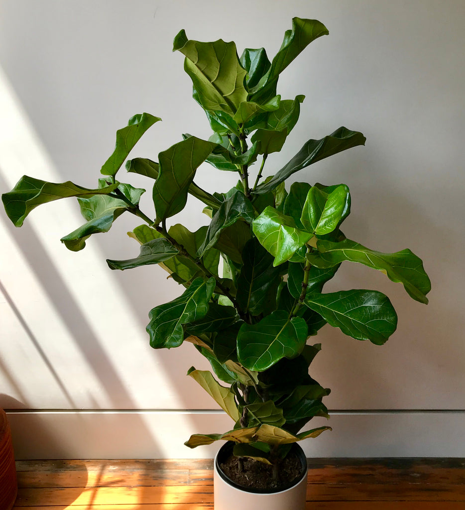Fiddle Leaf Fig Tree - Ficus Lyrata