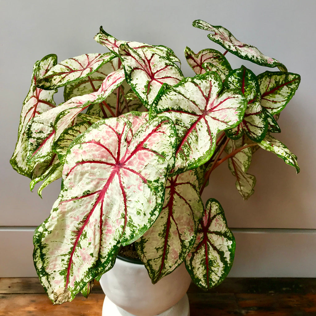 Caladium Tricolor - White, Pink, & Deep Green