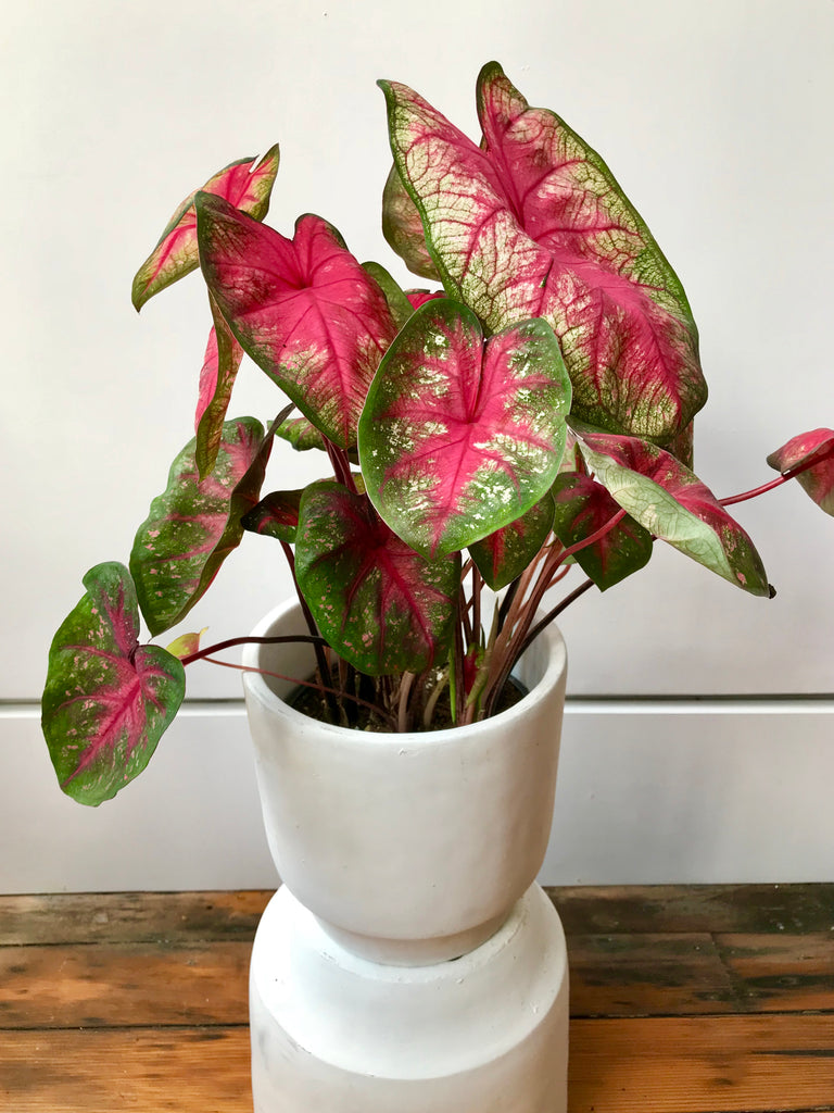 Caladium Tickle Me Pink - Tricolor Caladium
