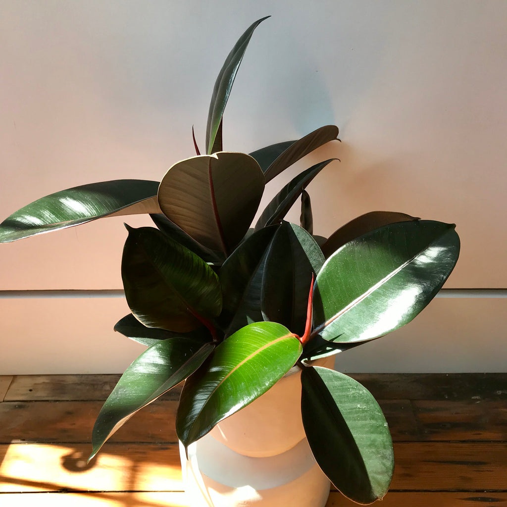 Burgundy Rubber Tree - Ficus Elastica Burgundy