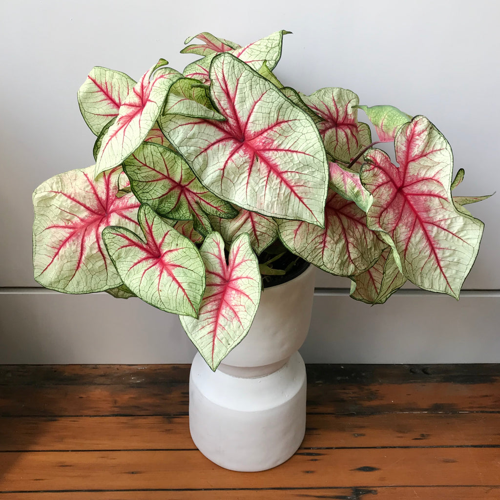 Caladium Tricolor - White Queen