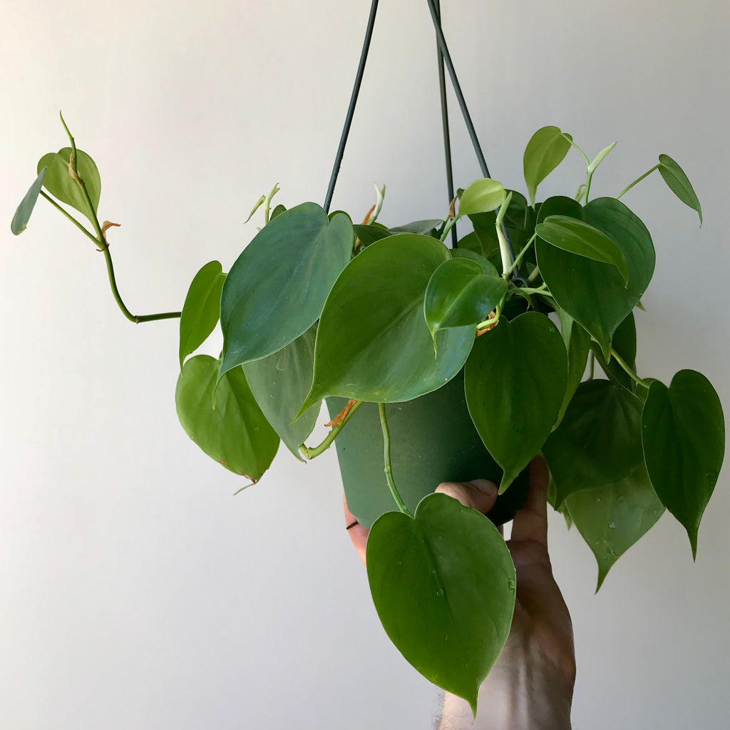 Heartleaf Philodendron - Hederaceum