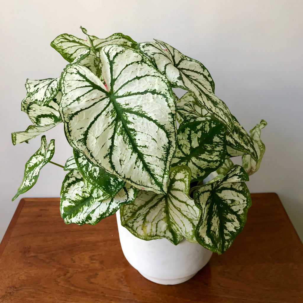 Caladium White Christmas - Tricolor Caladium