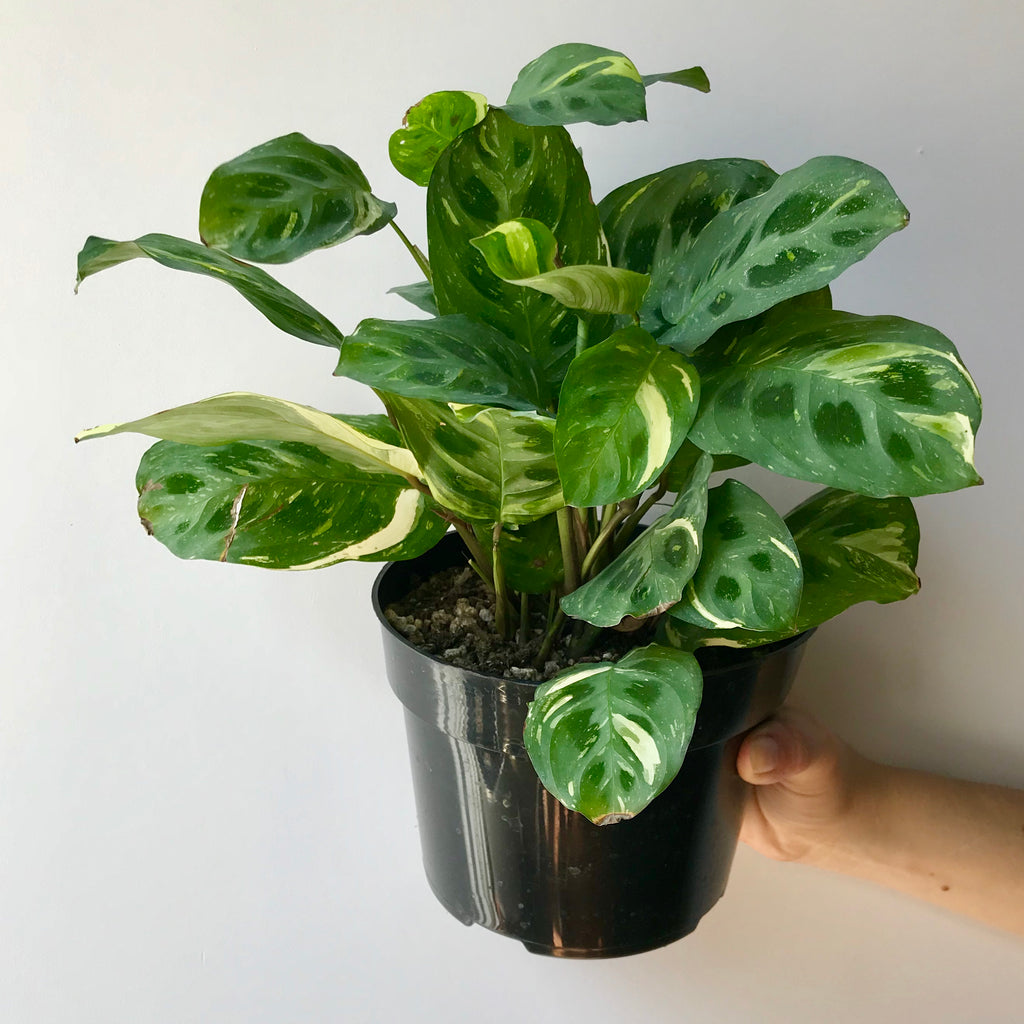 Variegated Green Maranta - Prayer Plant