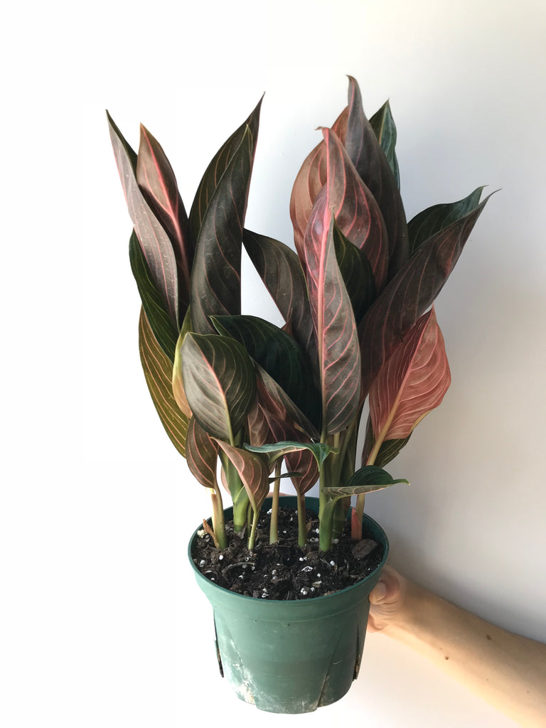 Chinese Evergreen - Aglaonema Chocolate