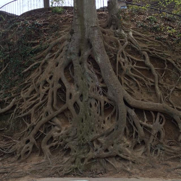 Tree Roots - Greenville, South Carolina