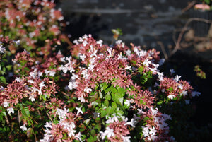 Abelia 'Rose Creek'