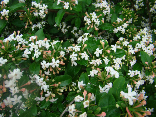 Abelia mosanensis Sweet Emotion® PP27370